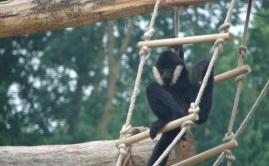Zware Robinia klimpalen voor de Apen in de ZOO (4)